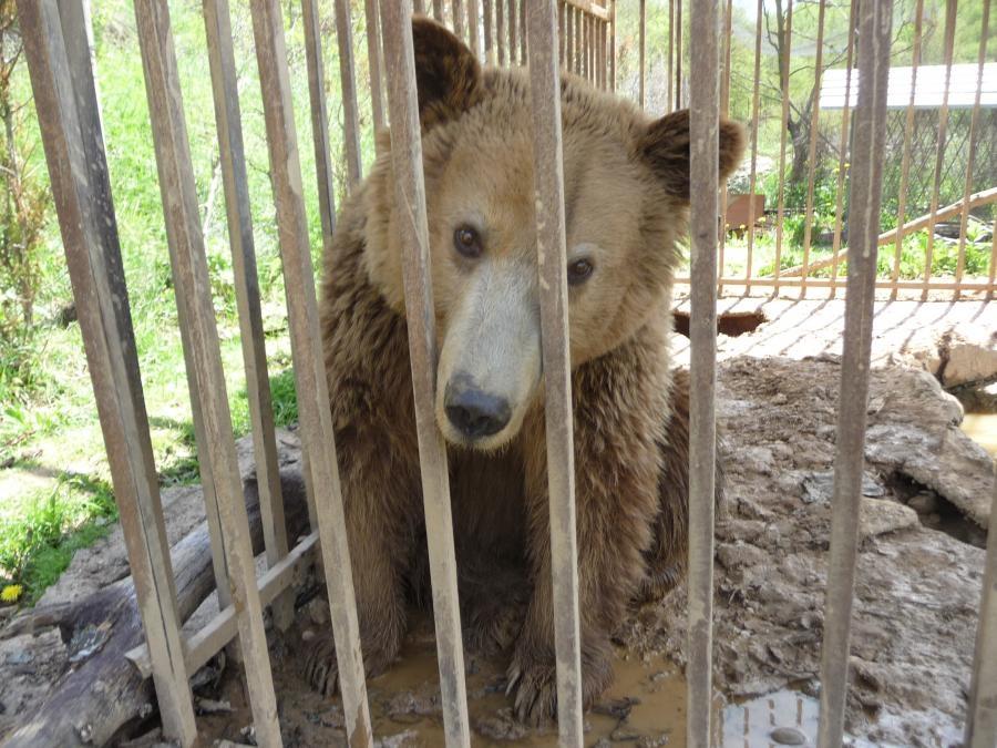 bjørnemishandling