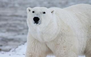 Isbjørne lider