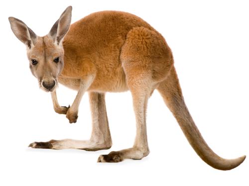 kænguruer