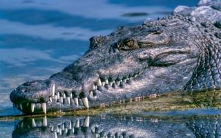 krokodiller er blevet flyttet