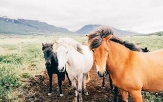 hestetyper