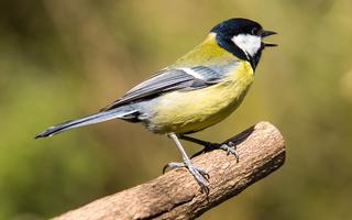 Fuglefoder og fuglefrø til vilde fugle
