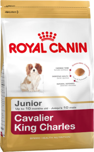 Cavalier King Charles junior